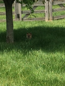 I am so tired of mowing grass.  Even Casey is getting hard to see.